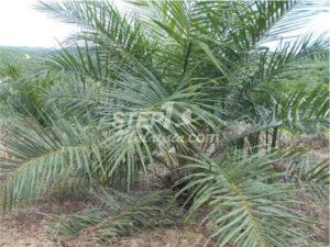 フォトギャラリー(パーム油農園)